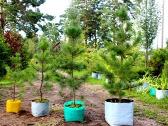 На сколько см в год растет кедр. кедры (cedrus) - крупные хвойные деревья, родственники лиственниц. | зелёный сад
