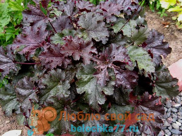 Посадка гейхеры и уход за ней (26 фото): выращивание многолетнего цветка в открытом грунте. как пересадить растение осенью?