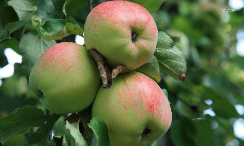 сорта яблонь с фото