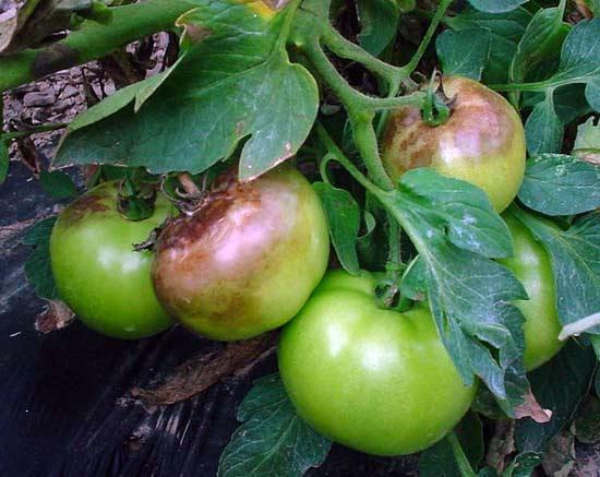Чем обработать помидоры от фитофторы в теплице – сад и огород своими руками