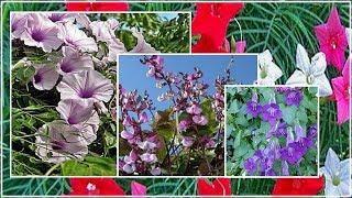 Лианы многолетние для сада — цветы букеты