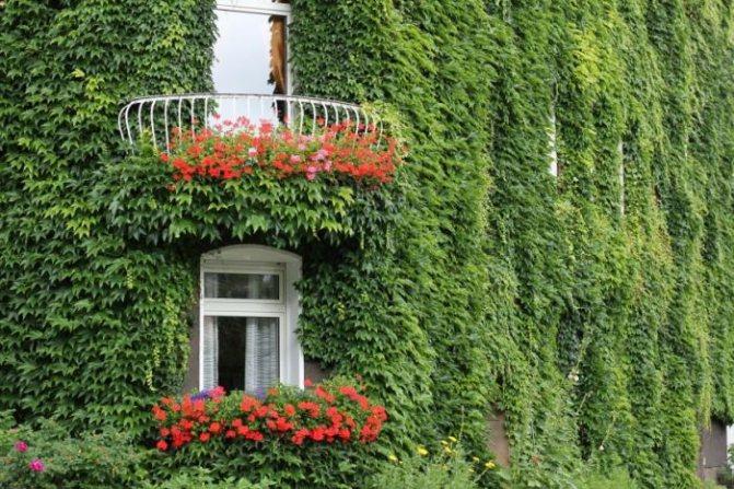 Самые морозостойкие лианы в моём саду. плетистые розы, клематис, калистегия, девичий виноград. фото — ботаничка.ru