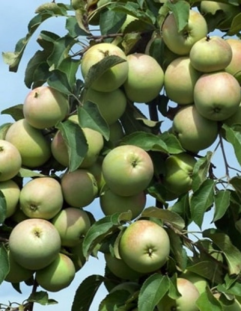 Сорт яблок кальвиль снежный