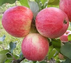 Сорт яблони каштеля