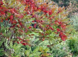 Сумах оленерогий — достойное украшение садового участка