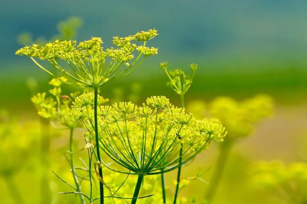 Фенхель: выращивание из семян в открытом грунте, полезные свойства, фото