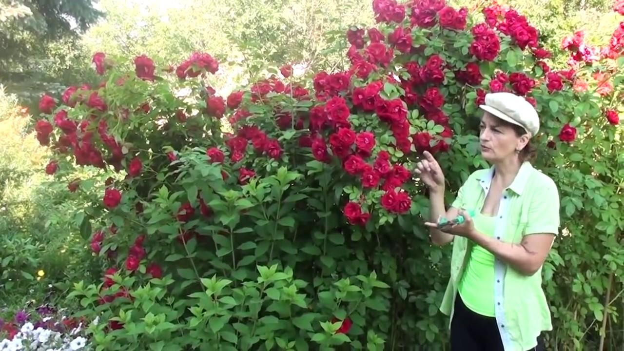 Черенкование роз осенью — способы размножения с пошаговыми инструкциями, фото и видео