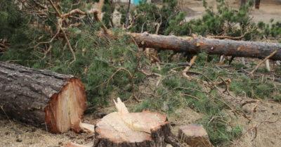 Как спилить дерево и не пожалеть об этом: практикум от