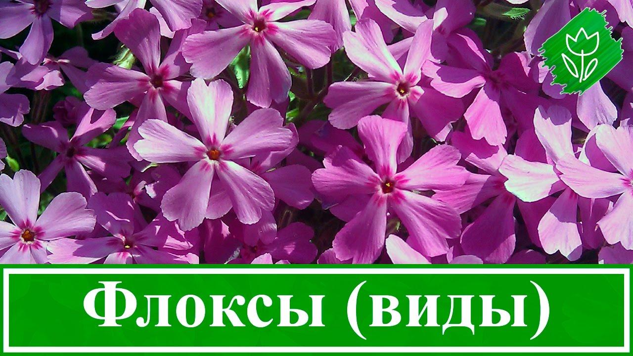 Флоксы — морфологическое описание, виды и вариации, выращивание и посадка + 106 фото