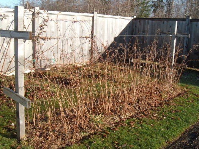 Малина: уход, обрезка и подкормка осенью, чем и как можно - огород, сад, балкон - медиаплатформа миртесен