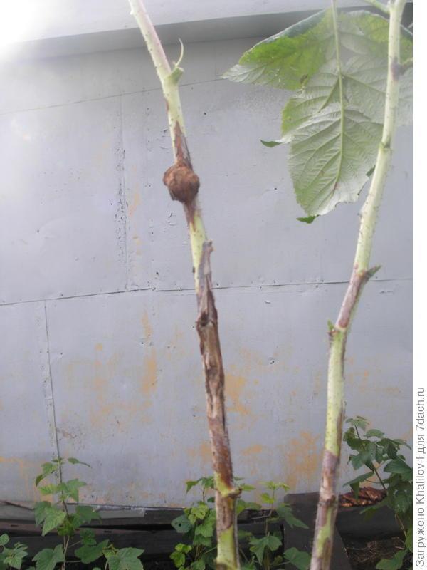Как избавиться от стеблевой галлицы на малине: химические средства и народные методы