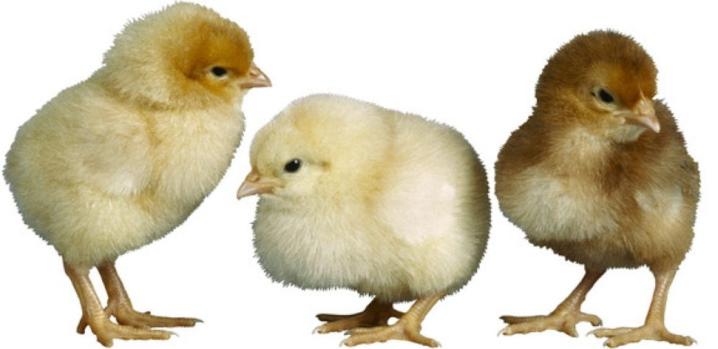 Доминант порода кур – описание, содержание, фото и видео