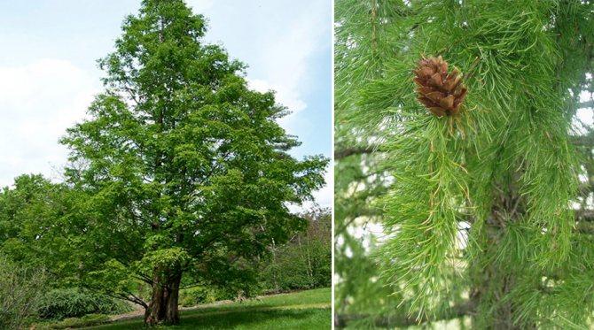 Комнатные хвойные растения (19 фото): карликовые декоративные виды для дома, уход и советы по выращиванию