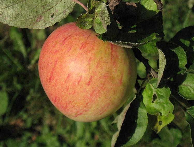 Яблоня эльстар: особенности сорта и ухода
