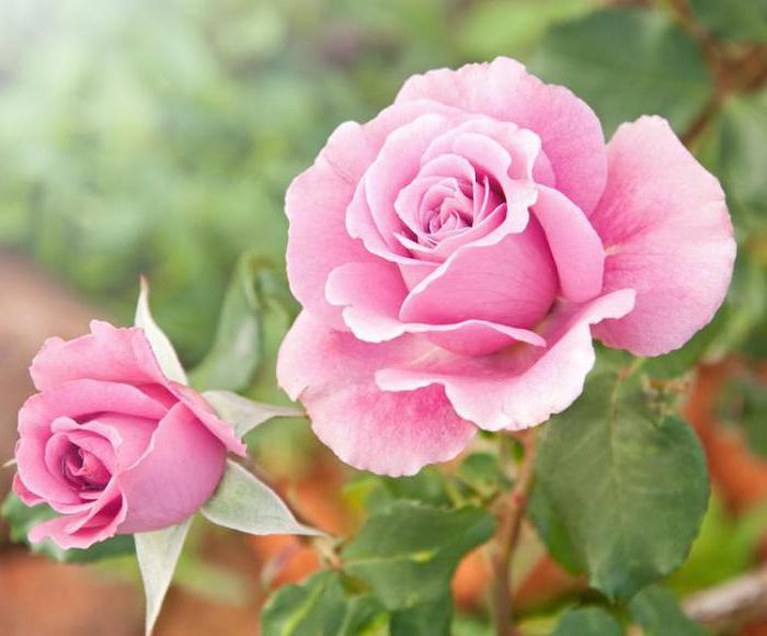 что делать с розами на зиму