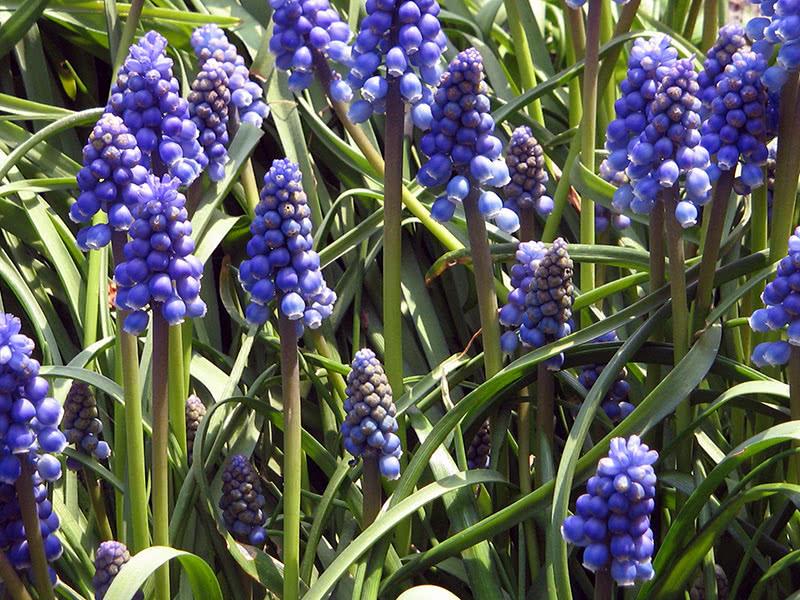 Как посадить мускари в открытом грунте: сорта цветка, особенности посадки и ухода, фото и полезные советы