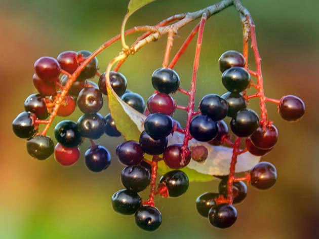 черемуха осенью фото