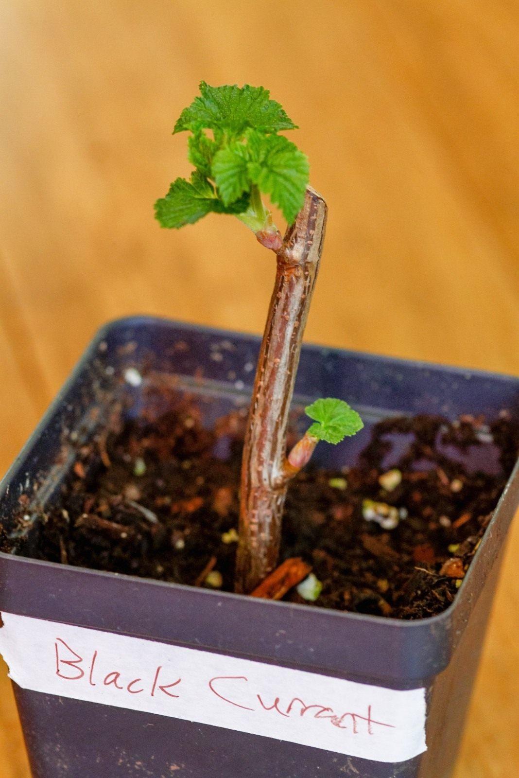 2 лучших способа размножения смородины черенками осенью