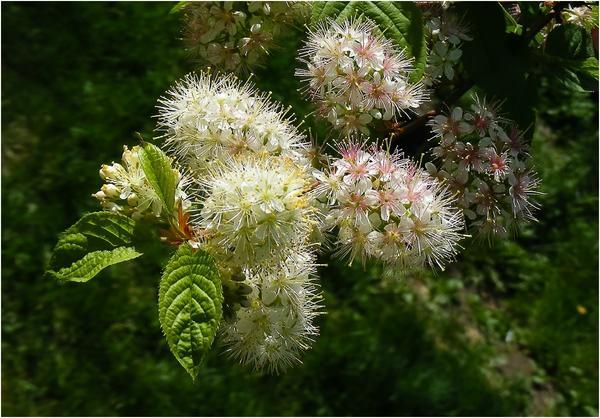 Черемуха - выращивание и уход - полезные свойства черемухи - заготовки из черемухи   дом, сад и огород