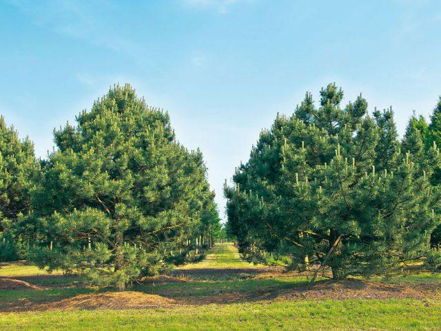 Сосна горная «гном»: описание, особенности посадки и ухода