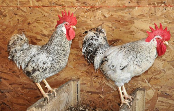 Борковская барвистая порода кур: описание, фото, отзывы
