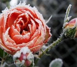 Режь с умом — будешь с цветком, или летняя обрезка роз – дачные дела