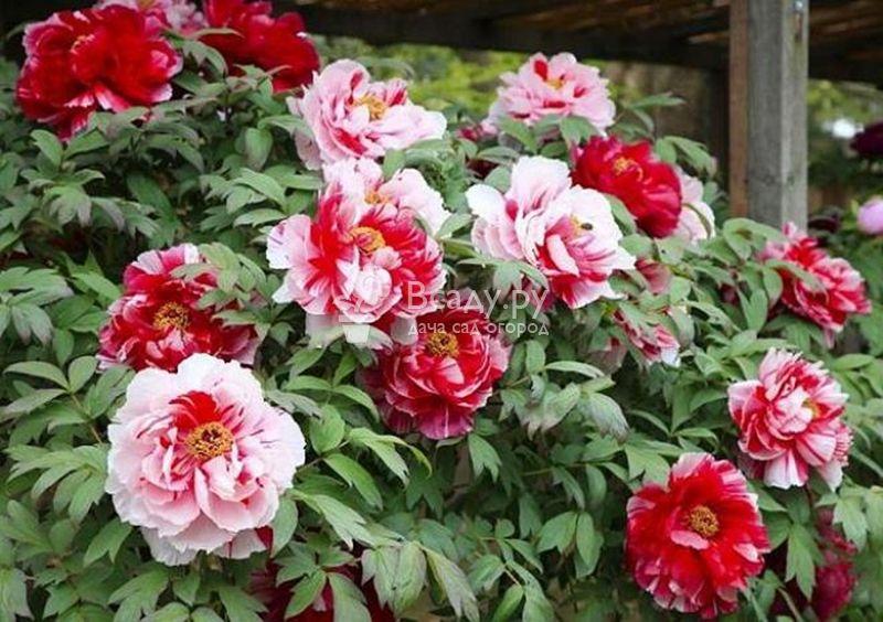 цветы пионы фото