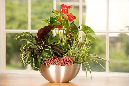 Цветок «женское счастье» (44 фото): уход за спатифиллумом в домашних условиях. как выглядит комнатный цветок? удобрения для цветения