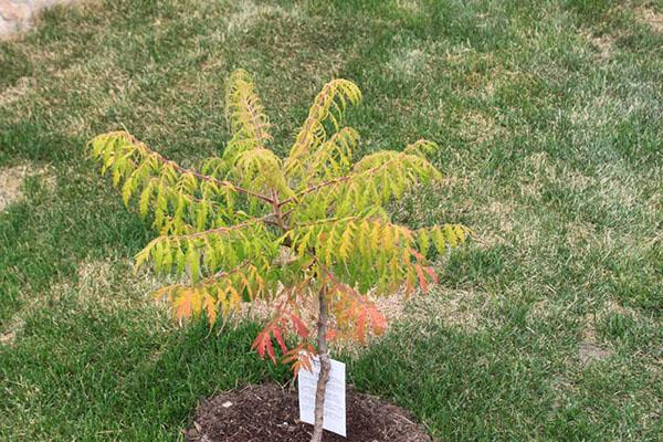 Сумах (уксусное дерево): виды с фото, посадка и уход