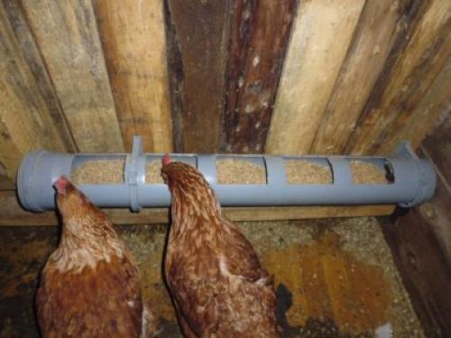 оптимальная температура в курятнике зимой для несушек