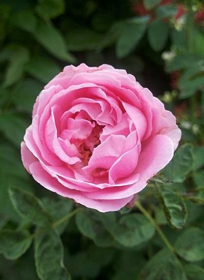 Роза поэзия (poesie) — особенности кустовой культуры