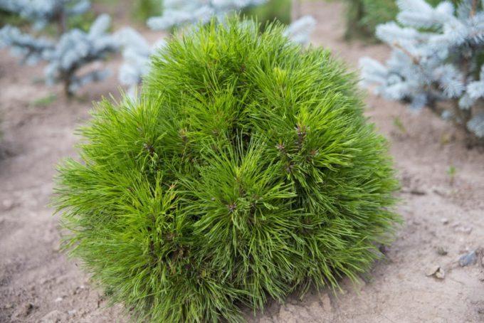 Сосна обыкновенная, или сосна лесная — pinus sylvestris   russianpermaculture.ru
