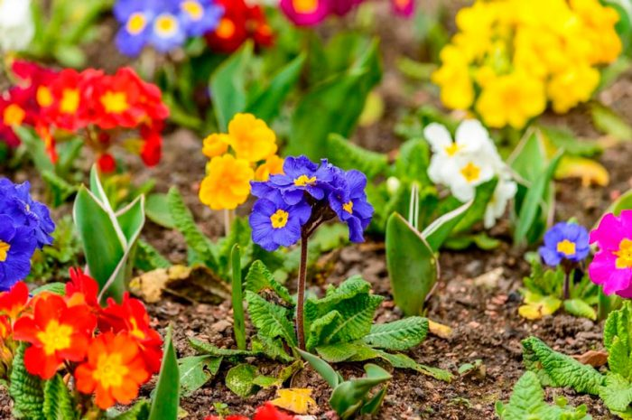 Примула многолетняя — богиня весны: посадка и уход