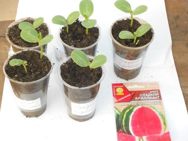 Как посадить и вырастить арбуз в открытом грунте?