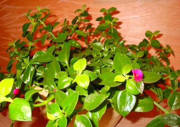 Комнатные цветы не цветущие с названиями и фото (список и описание) – zelenj.ru – все про садоводство, земледелие, фермерство и птицеводство