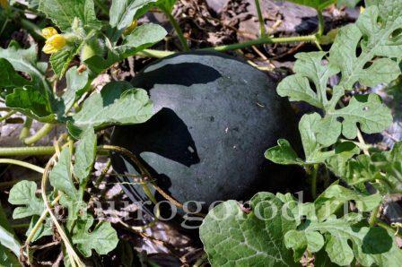 Как вырастить арбуз: советы экспертов как посадить и выращивать арбуз в домашних условиях (110 фото)