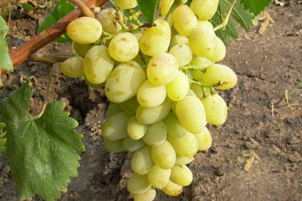 Саженцы винограда красохиной на осень 2020 года