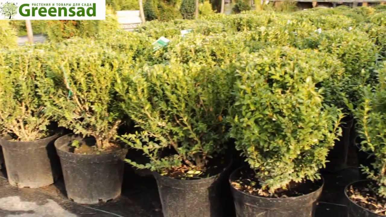 Самшит - 115 фото как правильно применять растение и варианты выращивания самшитов