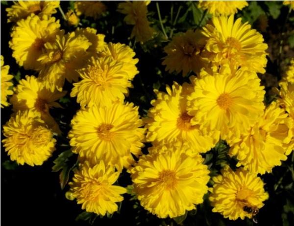 Выращивание хризантемы индийской в открытом грунте, сорта индикума и их описание