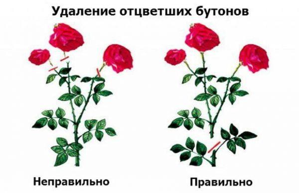 Обрезка роз осенью для начинающих - когда и как правильно