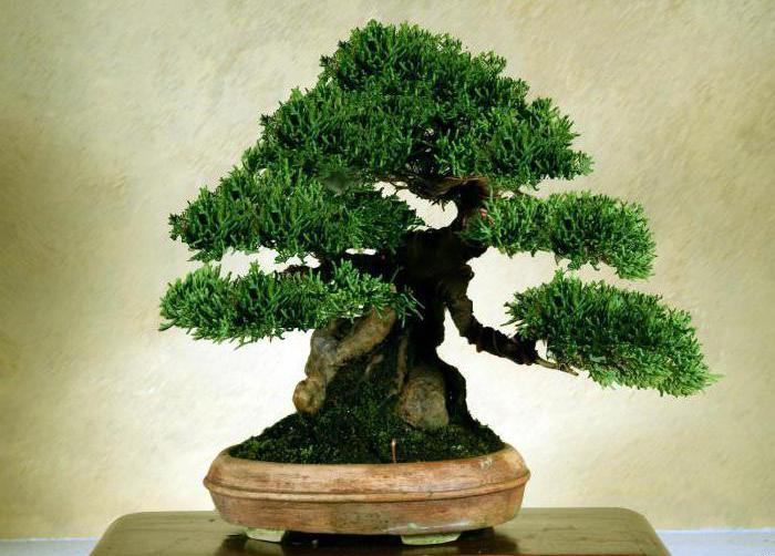 Японское дерево бонсай: 5 простых шагов к успеху