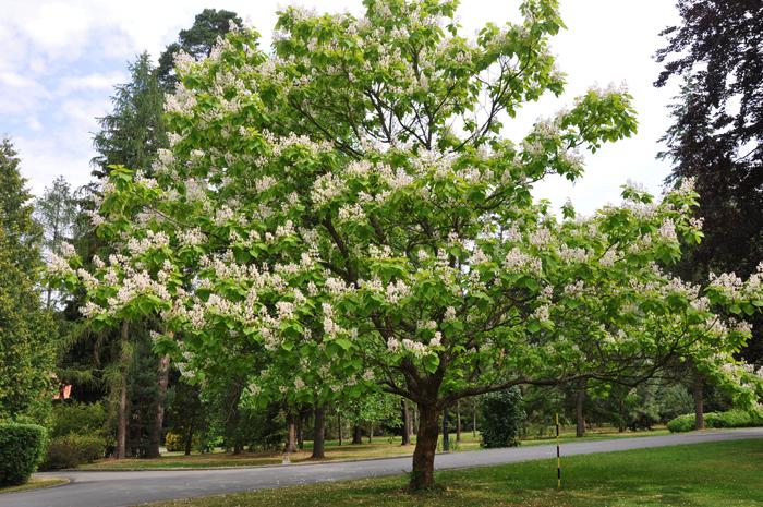 Цветущее дерево катальпа посадка и уход в открытом грунте, виды и сорта в ландшафтном дизайне с фото