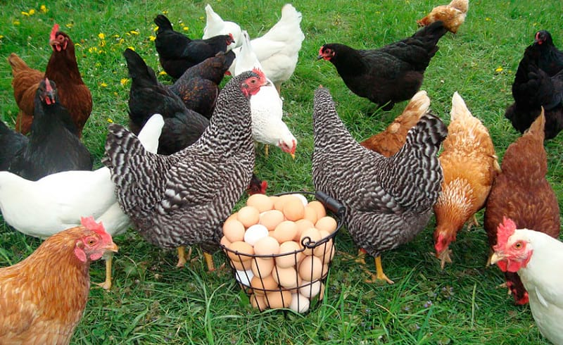 куры доминант с голубым яйцом
