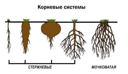 что называется корневой системой