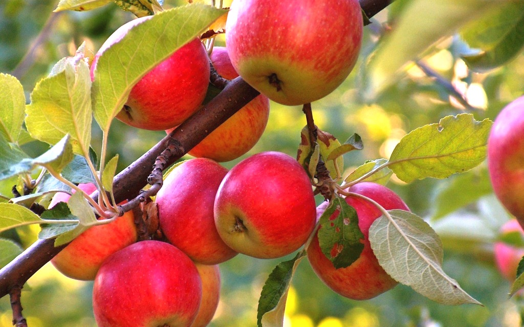 Описание сорта яблок имант