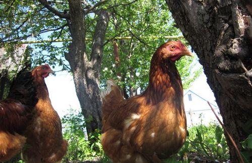 Чем нужно кормить кур несушек в домашних условиях