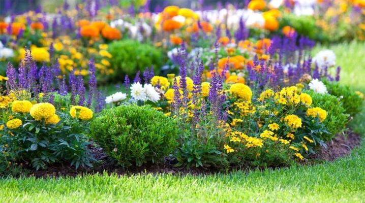 клумбные цветы