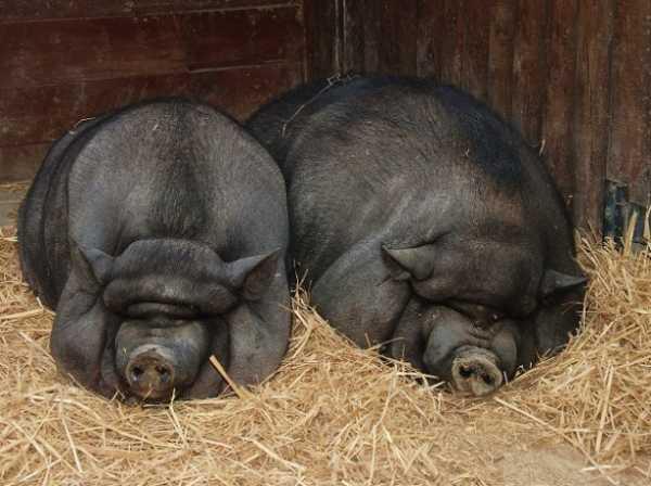 Вьетнамские свиньи: 90 фото, описание, особенности выращивания и ухода