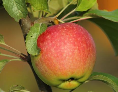 Зимние сорта яблок хранящиеся до весны. обзор зимних сортов яблони | дачная жизнь