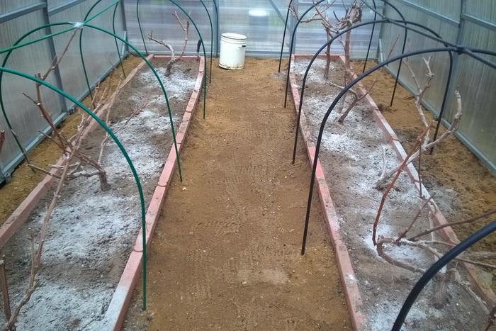 Подготовка винограда к зиме - как утеплить, как правильно готовить к зимовке в подмосковье, средней полосе